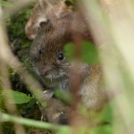 Bank Vole by Harry Appleyard, Shenley Wood 28 April 2016
