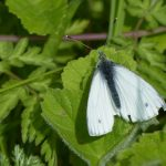 Green-Veined White by Harry Appleyard, Howe Park Wood 2 May 2016