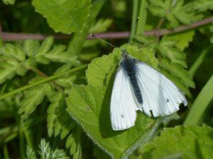 Green-Veined White by Harry Appleyard, Howe Park Wood 2 May 2016
