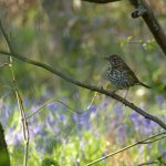 Song Thrush by Harry Appleyard, Howe Park Wood 30 April 2016