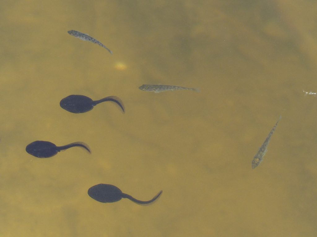 Tadpoles and Sticklebacks by Harry Appleyard, Howe Park Wood 23 May 2016