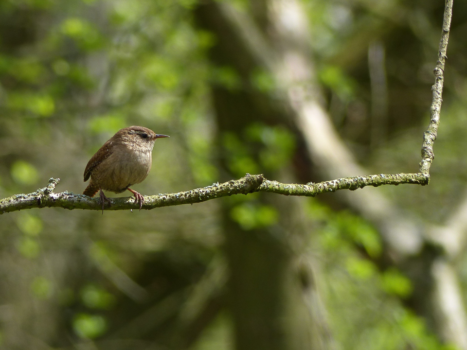 Wren by Harry Appleyard, Shenley Wood 28 April 2016
