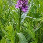 Marsh Orchid by Julian Lambley at Three Locks on 11 May 2016