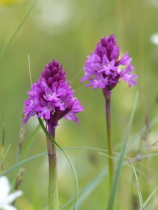 Pyramidal Orchids by Harry Appleyard, Howe Park Wood 19 June 2016