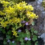 Biting Stonecrop and Ivy-leaved Toadflax at Olney Church by Martin Kincaid. 13 June 2016