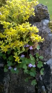 Biting Stonecrop and Ivy-leaved Toadflax at Olney by Martin Kincaid. 13 June 2016