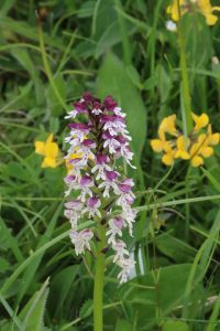 Burnt Orchid at Knocking Hoe by Julian Lambley, 11 June 2016
