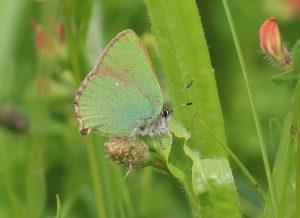 Green Hairstreak at Knocking Hoe by Julian Lambley, 11 June 2016