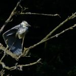 Grey Heron by Harry Appleyard, Tattenhoe Linear Park, 14 July 2016