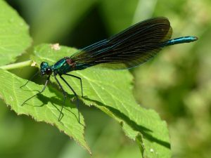 Male Beautiful Demoiselle, North Bucks Way (17th July) Calopteryx virgo