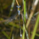 Mature Male Emerald Damselfly by Harry Appleyard, Tattenhoe Park, 14 July 2016