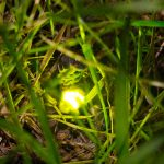 Glowworm by Paul Lund. Wicken Wood 5 July 2016