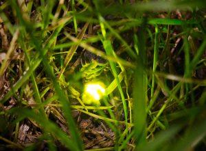 Glowworm by Paul Lund. Wicken Wood 5 July 2016