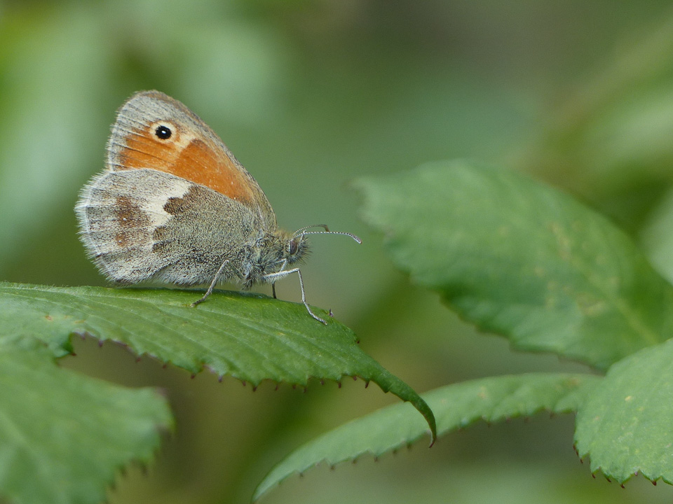 Small Heath by Harry Appleyard, Tattenhoe Linear Park, 14 July 2016
