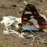 White Admiral by Harry Appleyard, North Bucks Way, 8 July 2016