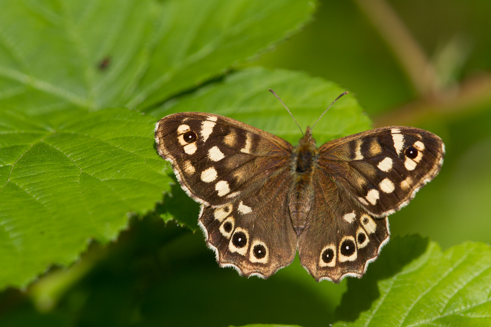 Speckled Wood by Peter Hassett, Chicksand Wood 4 July 2013