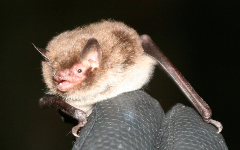 Daubenton's bat by Chris Damant