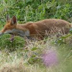 Fox by Harry Appleyard, Tattenhoe Park 10 August 2016