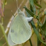 Large White laying eggs by Harry Appleyard, Whaddon 21 July 2016