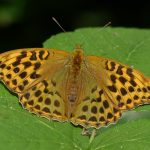 Silver-washed Fritillary by Harry Appleyard, North Bucks Way 21 July 2016