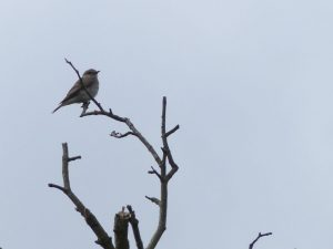 Spotted Flycatcher, St.Giles Church meadow, Tattenhoe (8th August)