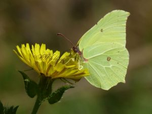 Brimstone by Harry Appleyard, Tattenhoe Park 1 September 2016