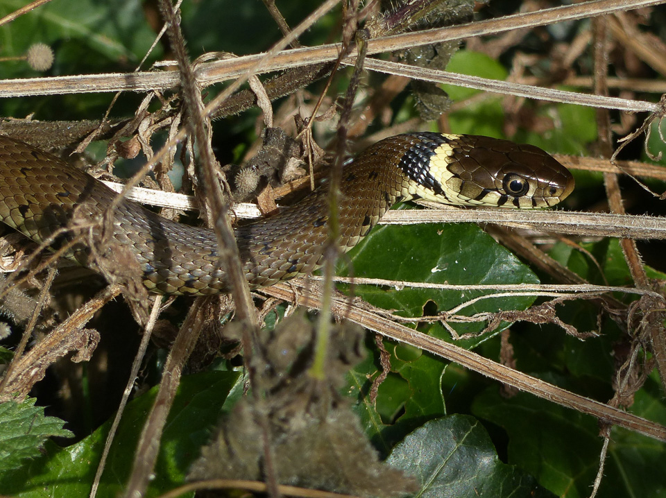 Grass Snake by Harry Appleyard, Tattenhoe 1 September 2016