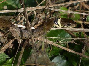 Grass Snake, Tattenhoe (1st September 2016)
