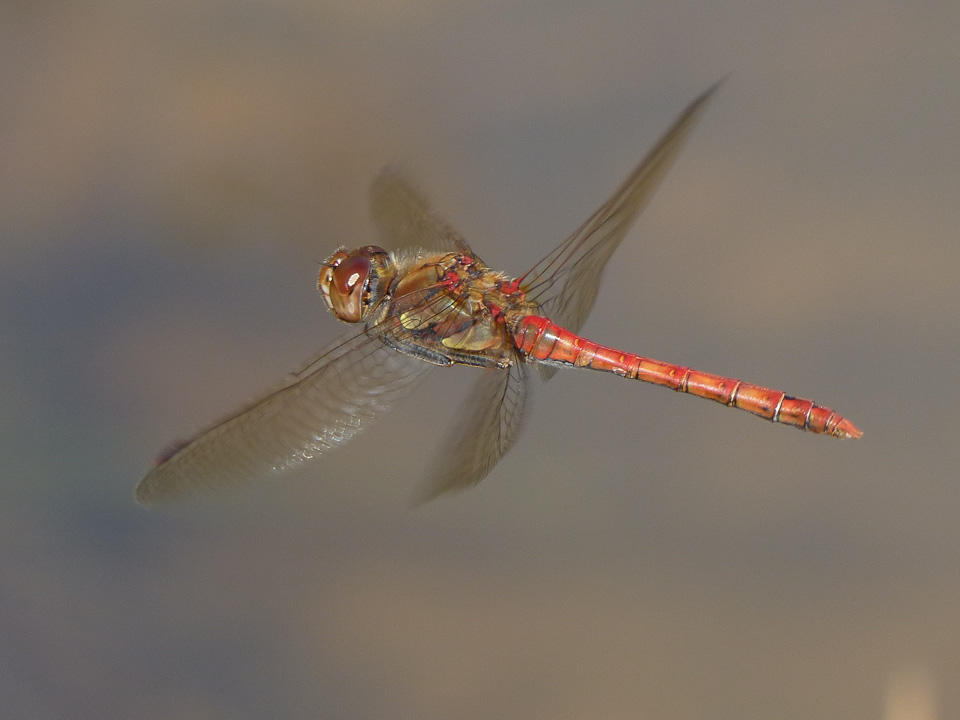Male Common Darter by Harry Appleyard, Tattenhoe Park 20th September 2016