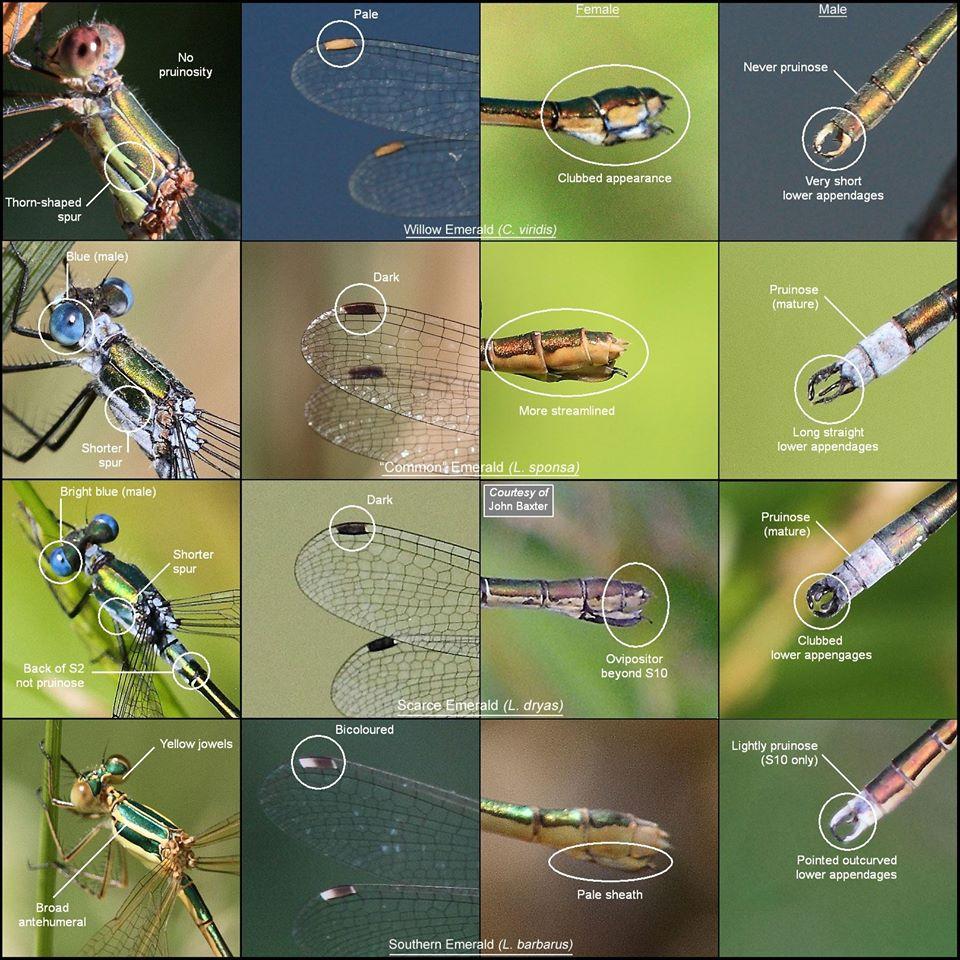 Willow Emerald Identification Chart