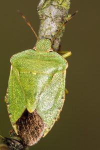 Green Shieldbug (Palomena prasina) by Peter Hassett, Old Warden Tunnel NR, 21 September 2016