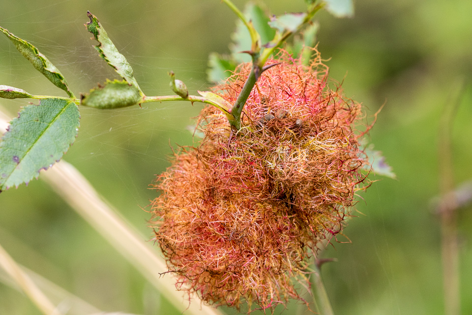 "Bedeguar gall ""Robin's pin cushion"" on dog rose by Peter Hassett, Old Warden Tunnel NR, 21 September 2016"