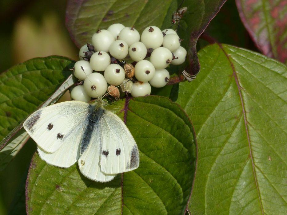 Small White Tattenhoe Park Harry Appleyard 14th October 2016