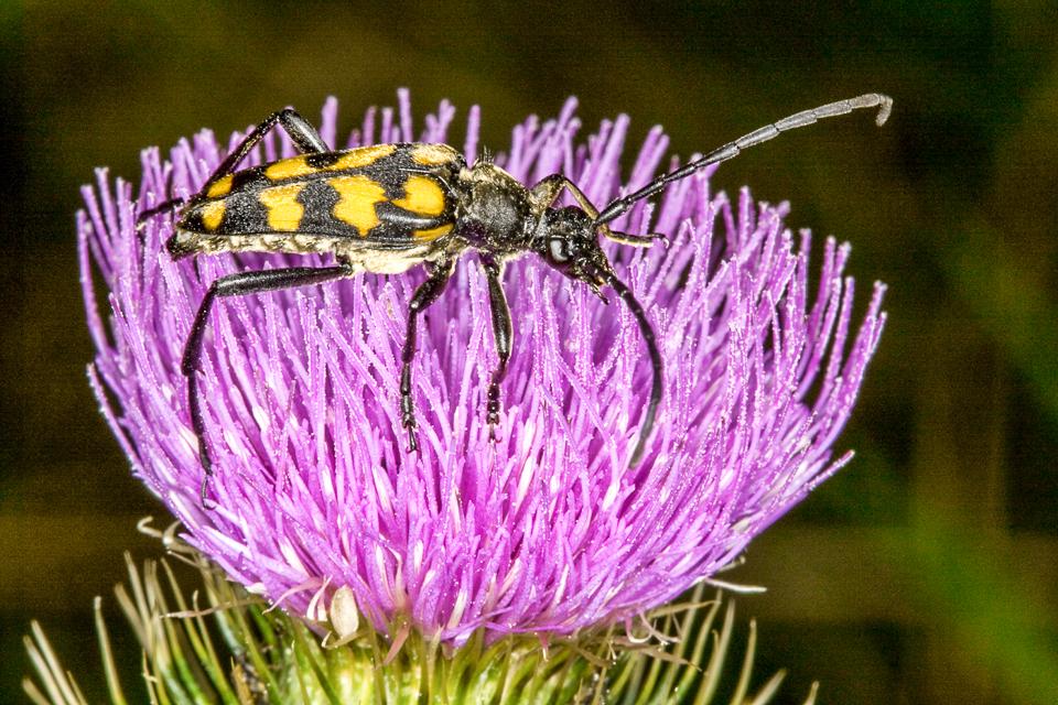 Longhorn beetle (Stranglia maculata) by Peter Hassett Silverdale 18 July 2009