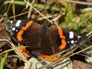 Red Admiral butterfly by Harry Appleyard, Howe Park Wood 20 December 2016