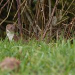 Weasel by Harry Appleyard, Tattenhoe Park 21 December 2016
