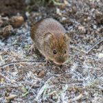 Bank Vole by Peter Hassett, Linford Lakes NR 29 December 2016