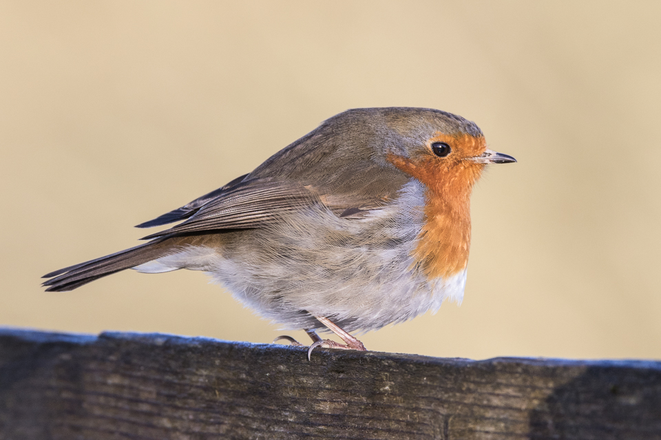 Robin by Peter Hassett, College Lake 29 December 2016