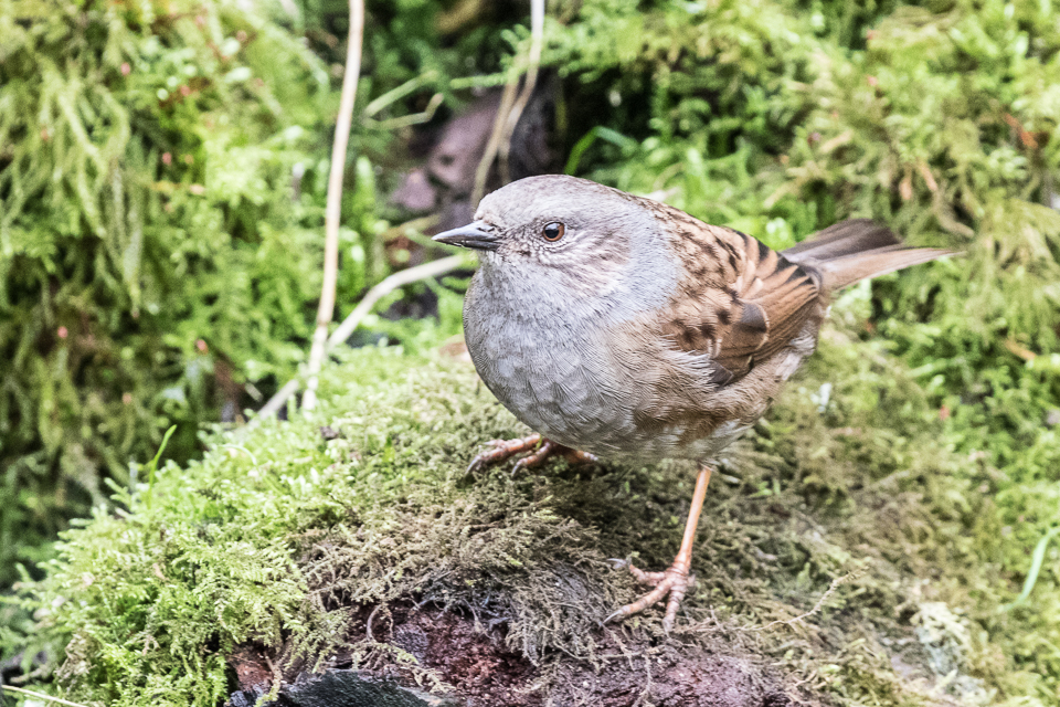 Dunnock by Peter Hassett, Linford Lakes NR 18 February 2017