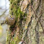 Firecrest by Peter Hassett, Linford Lakes NR 18 February 2017