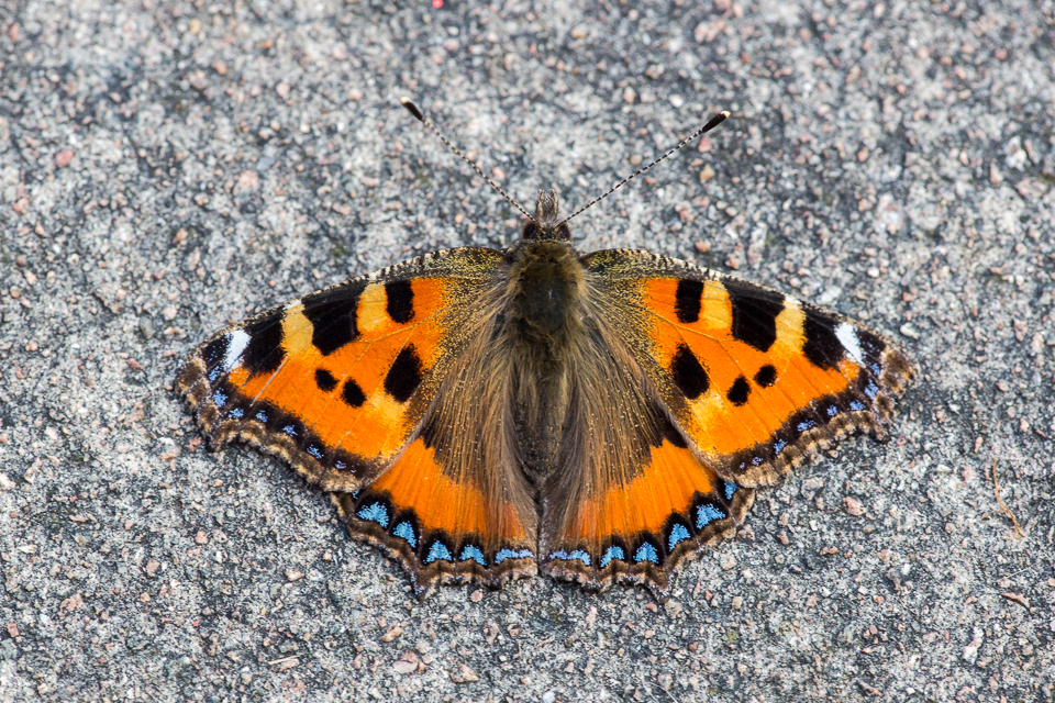 Small Tortoiseshell Butterfly by Peter Hassett , Shenley Church End 17 February 2017