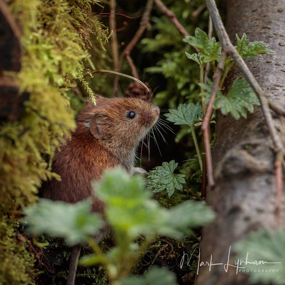 Bank Vole by Mark Lynham, Linford Lakes NR, 14 March 2017