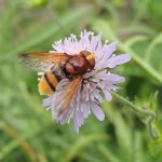 Volucella zonaria Hoverfly ©Julie Lane. Johnson's Field, Olney. 25 July 2017