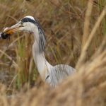 Grey Heron with Water Shrew by Harry Appleyard, Tattenhoe 7 January 2017