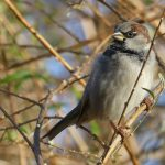House Sparrow by Harry Appleyard, Furzton Lake 28 December 2016