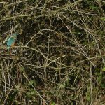 Kingfisher by Harry Appleyard, Furzton 29 December 2016