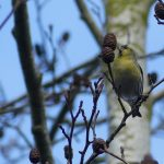 Male Siskin by Harry Appleyard, Tattenhoe 13 January 2017