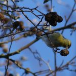 Siskin by Harry Appleyard, Tattenhoe 5 January 2017