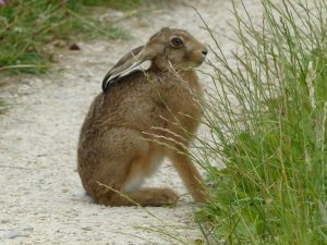 Hare by Linda Murphy, Otmoor July 2016