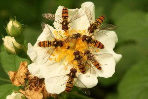 Hoverflies by Mark Strutton. 3 July 2016